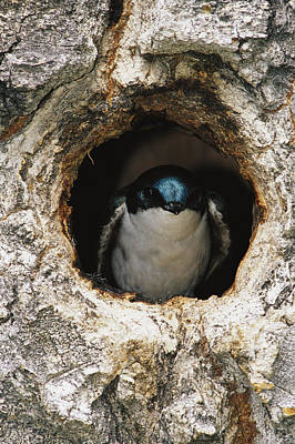 Swallow Photograph - A Tree Swallow Peers Out Of Its Nest by Michael S. Quinton
