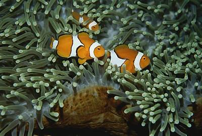 Clown Anemonefish Photograph - A Trio Of False Clown by Wolcott Henry