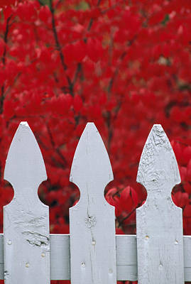 A White Picket Fence Against Red Autumn Print by Lynn Johnson