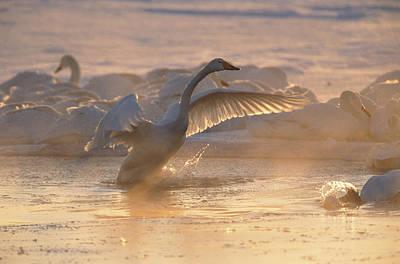 A Whooper Swan Flaps Its Wings Print by Tim Laman