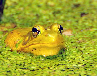 Bullfrog Photograph - A Yellow Bullfrog by Paul Ward