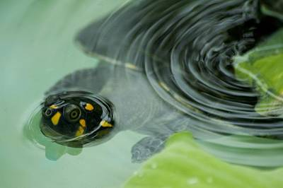 River Turtle Photograph - A Yellow-spotted Amazon River Turtle by Nicole Duplaix