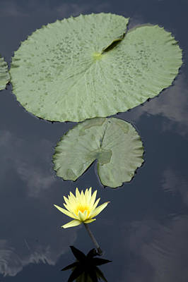 A Yellow Water Lily And Pads Print by Scott S. Warren