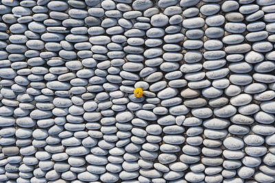 Close Focus Nature Scene Photograph - A Yellow Wildflower Growing Amongst An Arrangement Of Smooth Stones by Mark Gerum