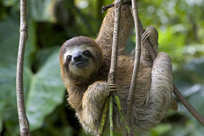 A Young Brown-throated Three-toed Sloth Print by Roy Toft
