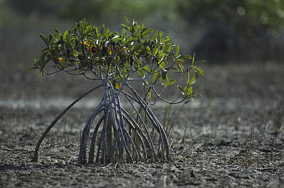 A Young Mangrove Tree Print by Klaus Nigge