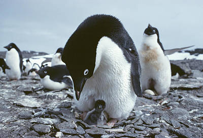 Adelie Penguin With Chick Print by Doug Allan