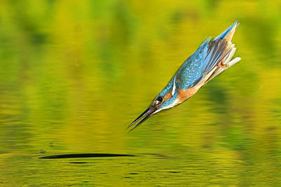 Adult Male Common Kingfisher, Alcedo Print by Joe Petersburger