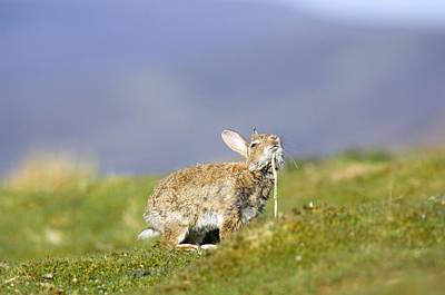 Adult Rabbit Marking Scent Print by Duncan Shaw