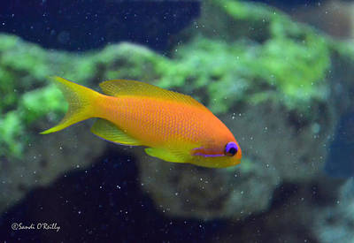 African Anthias Print by Sandi OReilly