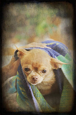 Chihuahua Digital Art - After The Bath by Laurie Search
