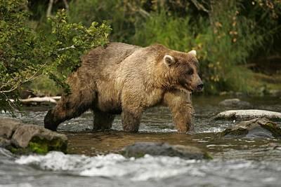 Alaskan Brown Bear Ursus Arctos Walking Print by Roy Toft