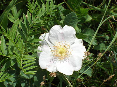 Prickly Wild Rose Photograph - Alberta Wild Prickly White Rose by Mark Lehar