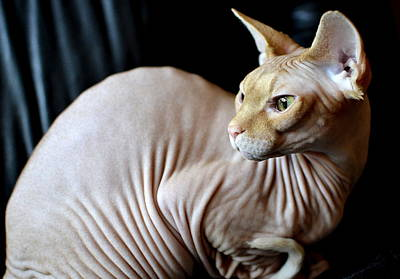 Hairless Cat Photograph - All Of Me by Fraida Gutovich