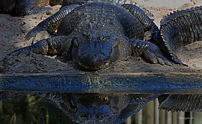 Alligator And Reflection Print by Dorothy Cunningham