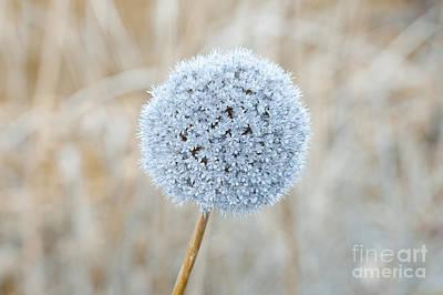 Allium Hollandicum Photograph - Allium Hollandicum by Roberto Morgenthaler