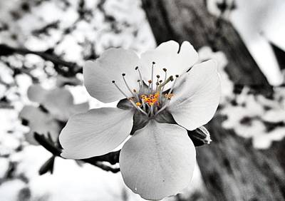 Almond Photograph - Almond Blossom by Marianna Mills
