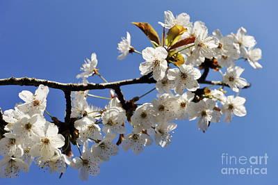 Almond Tree In Flower At Spring Print by Sami Sarkis