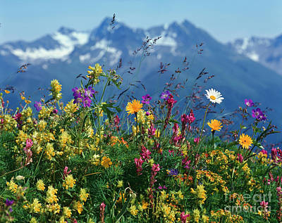 Alpine Wildflowers Print by Hermann Eisenbeiss and Photo Researchers