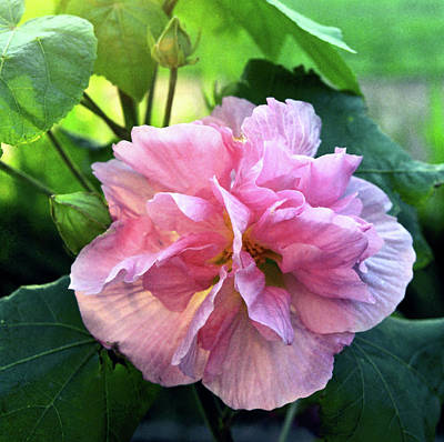 Althea Rose Of Sharon Print by Kevin Smith