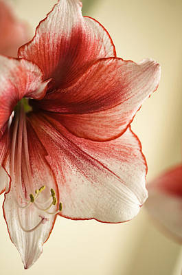 Rockville Photograph - Amaryllis 'temptation' Close-up by Maria Mosolova