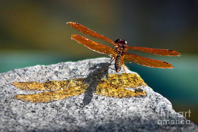 Dragonflies Photograph - Amberwing Amber Shadow by Susan Isakson
