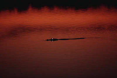 American Alligator Alligator Print by Konrad Wothe