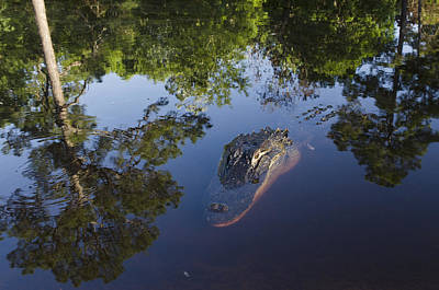 American Alligator In The Okefenokee Swamp Print by Pete Oxford