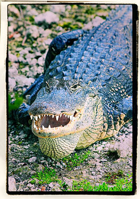 American Alligator Print by Rudy Umans