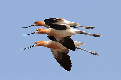 American Avocets Print by Phil Lanoue