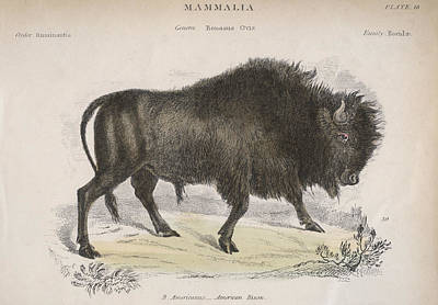 American Bison Print by Hulton Archive