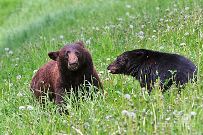 American Black Bear With Cub Print by Louise Heusinkveld