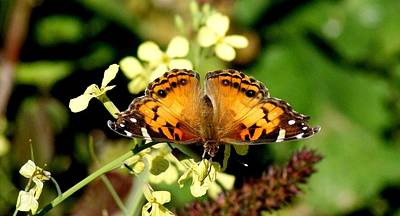 American Painted Lady I Print by Bruce W Krucke