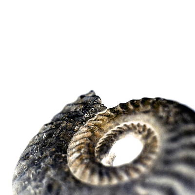 Ammonite Fossil Print by Neal Grundy