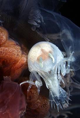 Amphipod Inside A Lion's Mane Jellyfish Print by Alexander Semenov