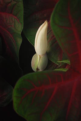 Calladiums Photograph - An Elegant White Calladium Bud by Jennifer Holcombe