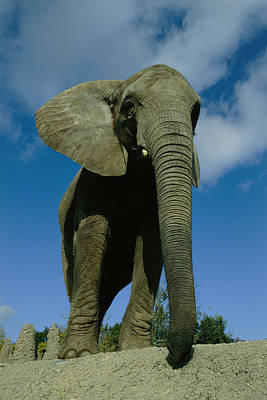 An Elephant At The Pittsburgh Zoo. This Print by Michael Nichols