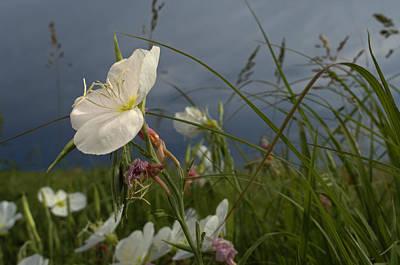 An Evening Primrose In Bloom Print by Jim Richardson