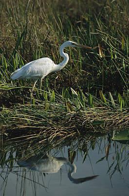 Pickerel Photograph - An Unusual White Great Blue Heron by Raymond Gehman