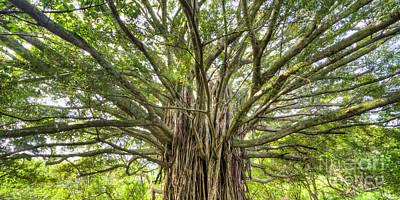 Ancient Maui Banyan Tree 2 Print by Dustin K Ryan
