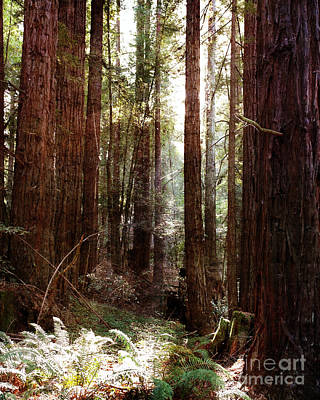 Ancient Redwoods And Ferns Print by Laura Iverson