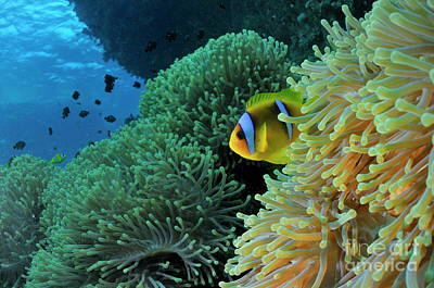 Clown Fish Photograph - Anemonefish In Sea Anemone by Sami Sarkis