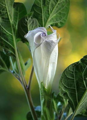 Angels Trumpet Photograph - Angel's Trumpet Bud by Angie Vogel