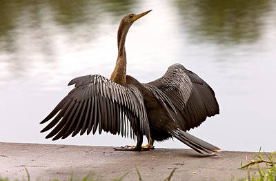 Anhinga Drying It's Wings Sarasota Florida Print by Mark Duffy