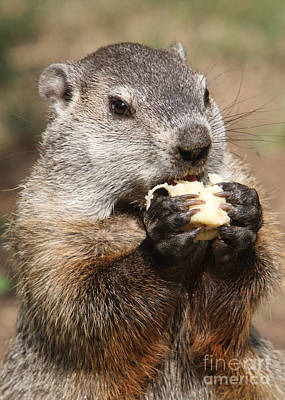 Groundhog Photograph - Animal - Woodchuck - Eating by Paul Ward