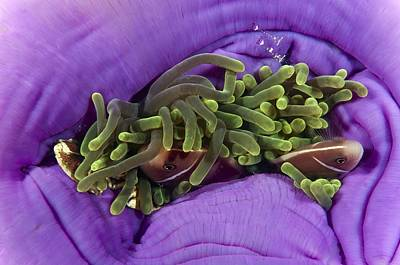 Clown Fish Photograph - Animals Sheltering In An Anemone by Matthew Oldfield