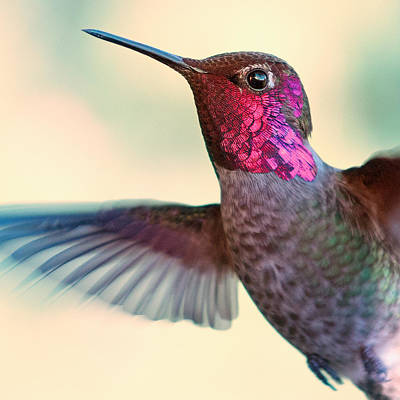 Y120831 Photograph - Anna's Hummingbird by by Ed Sweeney