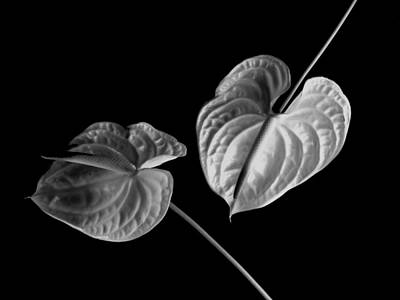Anthurium Photograph - Anthurium by John Wong