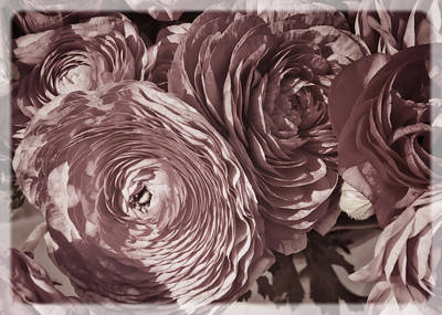 Antique Pink Ranunculus Print by Joan Carroll