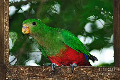 Yellow Beak Photograph - Anyone Home... King Parrot - Female by Kaye Menner